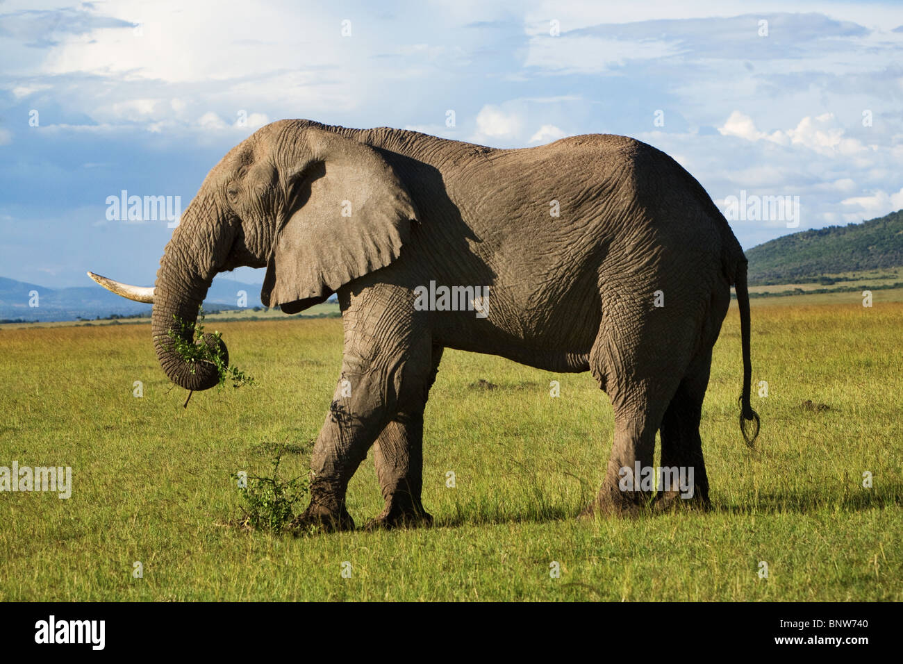 Elephant in the Masai Mara Kenya - Stock Image