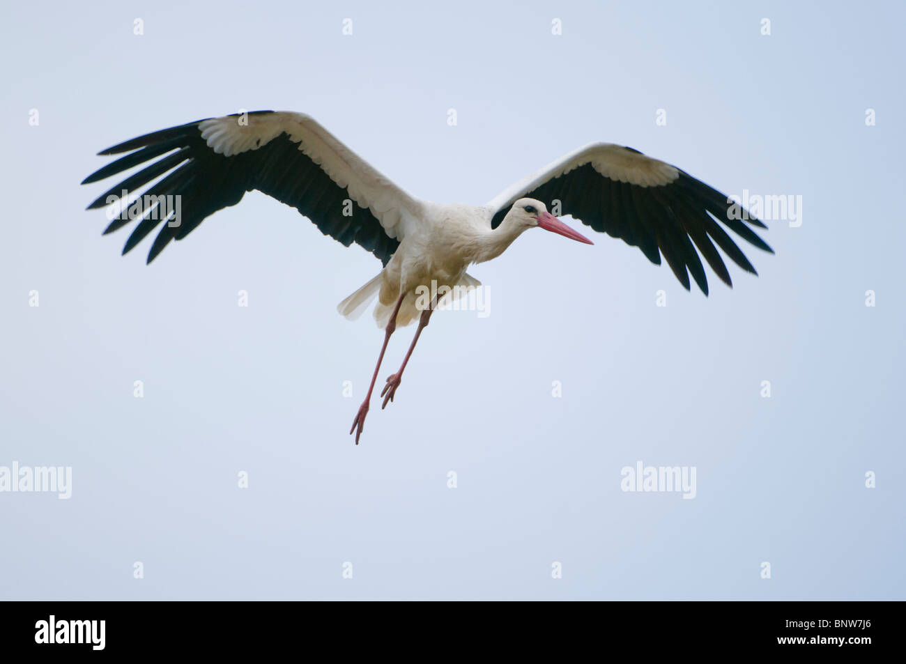 Common european Stork (Ciconia ciconia), flying, Spain Stock Photo