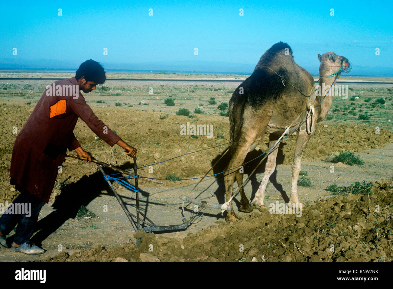 A man using a camel plough in inland Tunisia - Stock Image