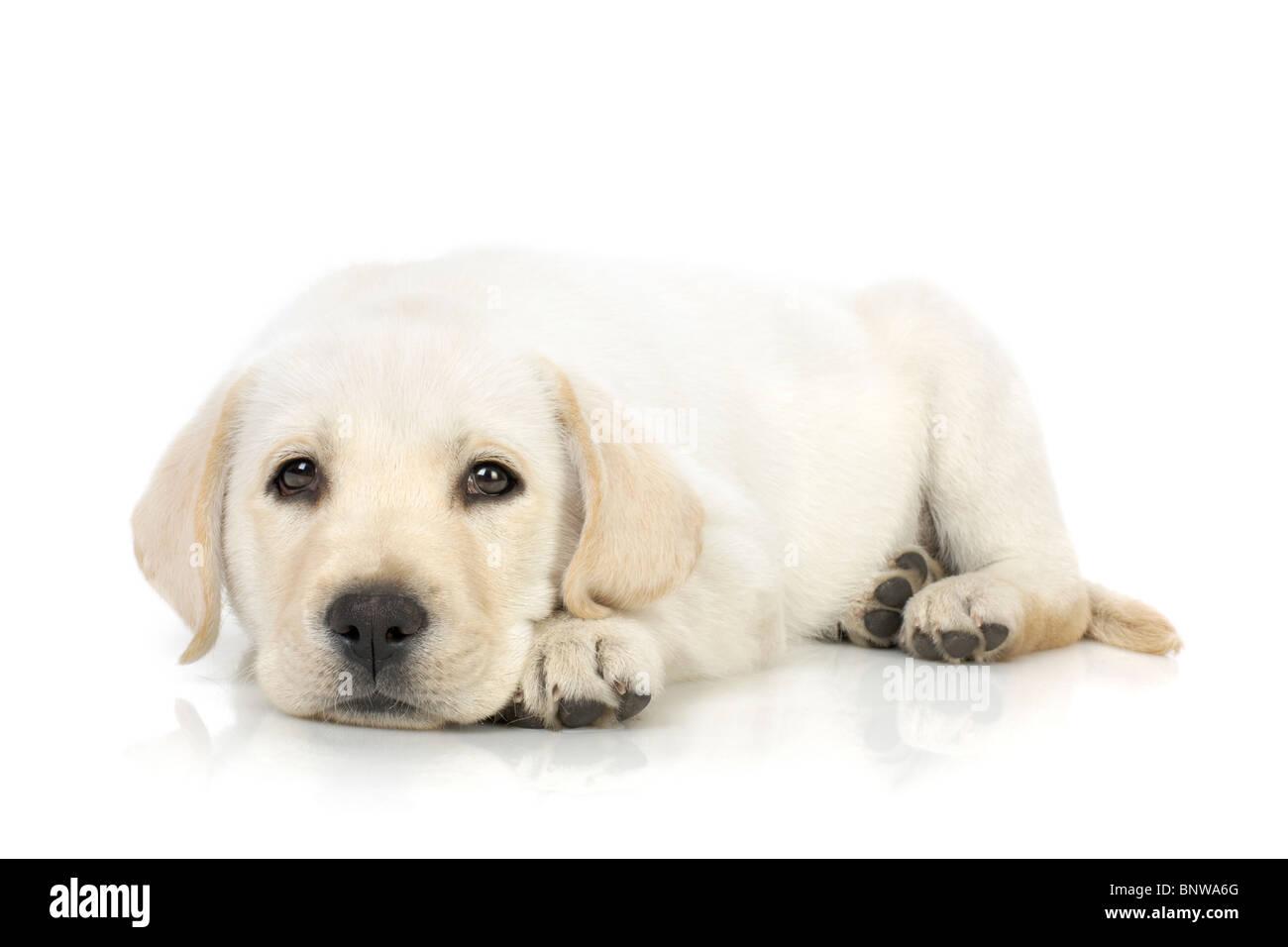 Adorable Labrador retriever puppy against white background - Stock Image