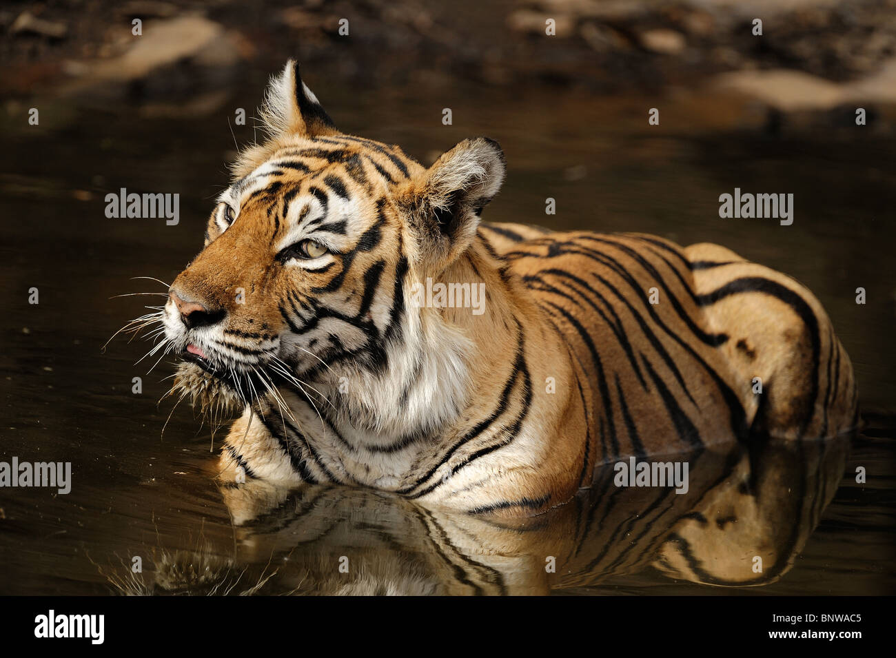 Bengal Tiger (Panthera tigris) relaxing in a waterhole, Ranthambore, India Stock Photo