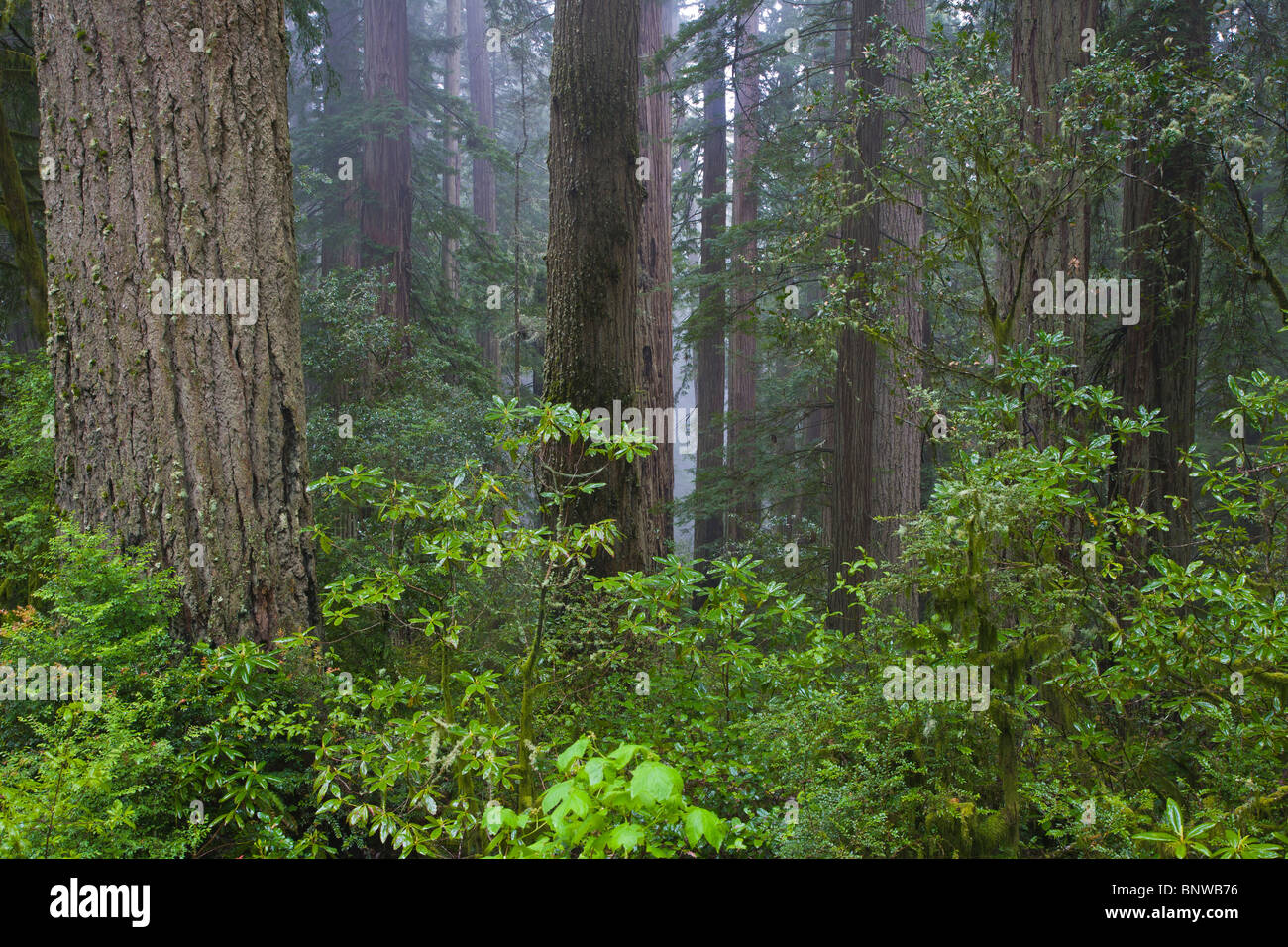 Redwood National Park in northern California - Stock Image