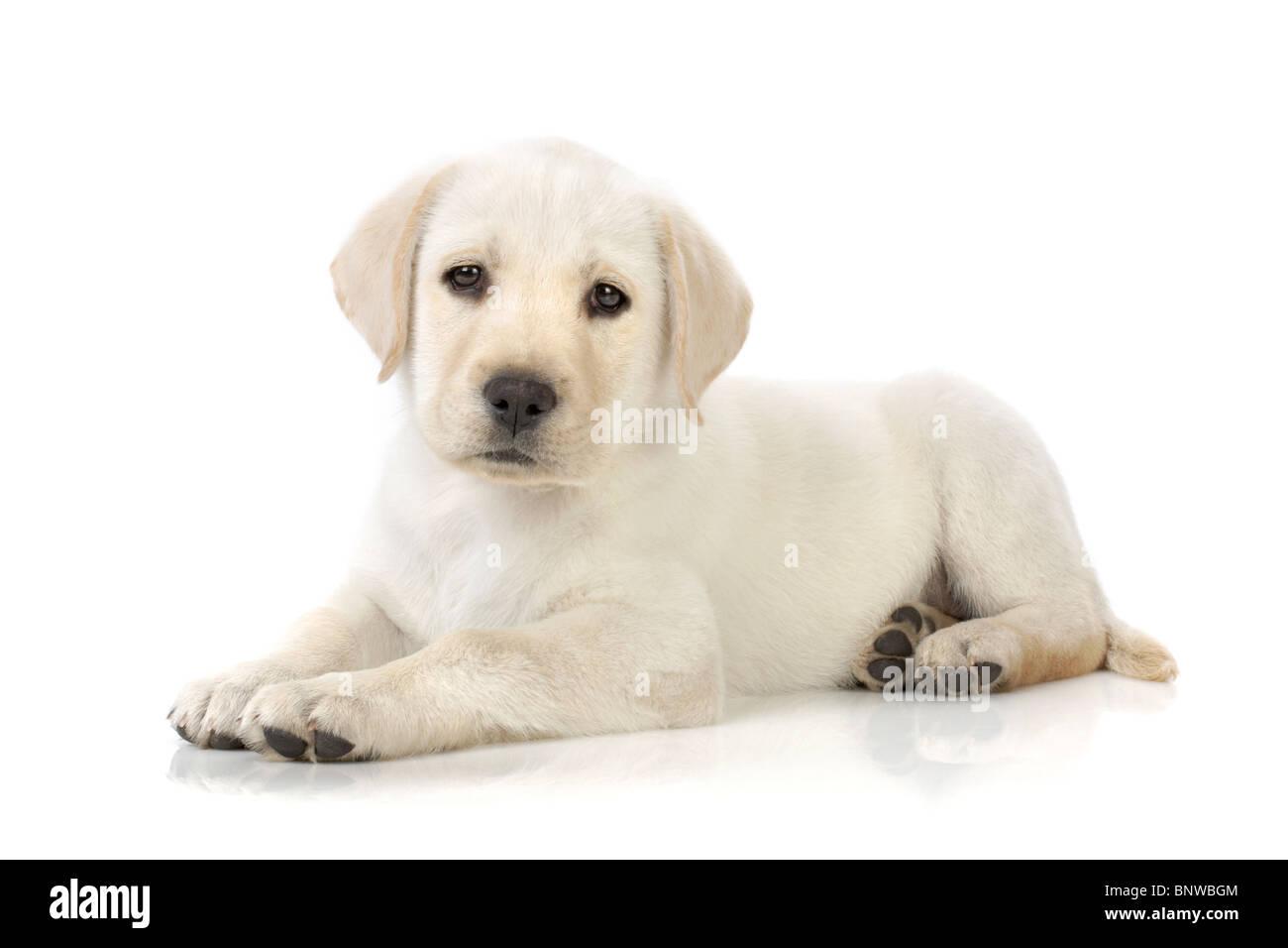 Adorable Labrador retriever puppy - Stock Image
