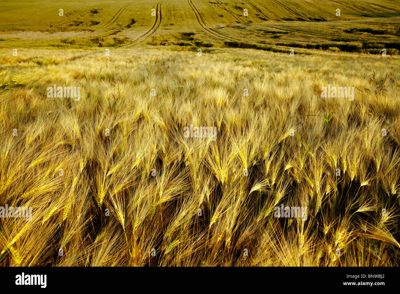 Corn field in the middle of summer - Stock Image
