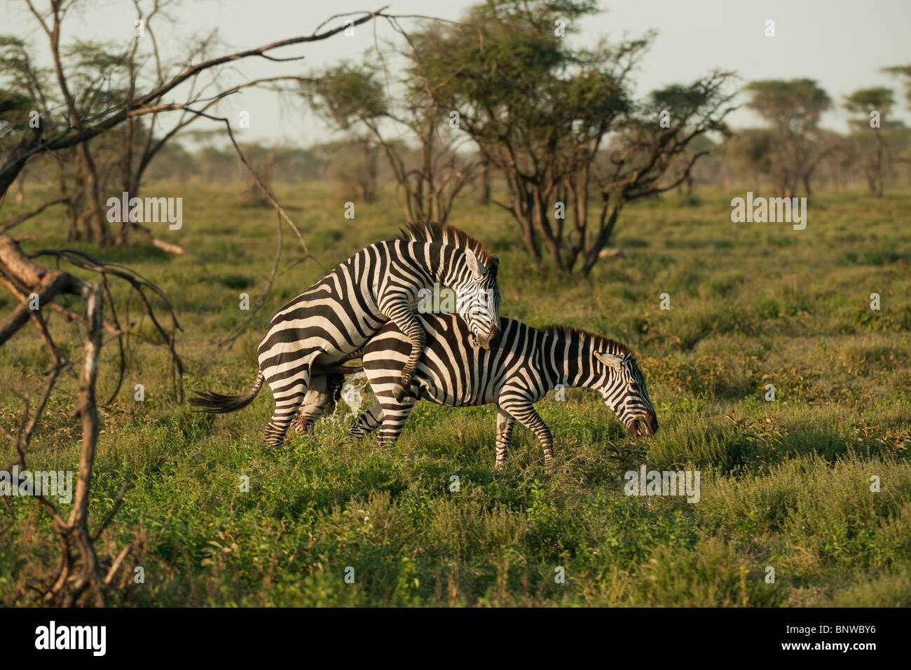 Mating Zebras, Serengeti, Tansania - Stock Image