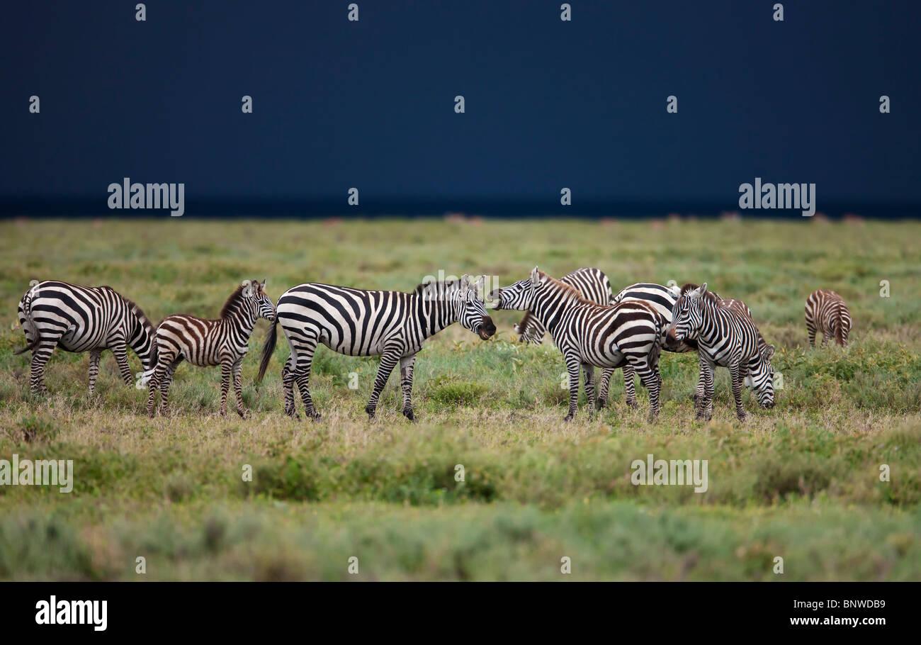Zebras at a thunderstorm, Serengeti, Tansania - Stock Image