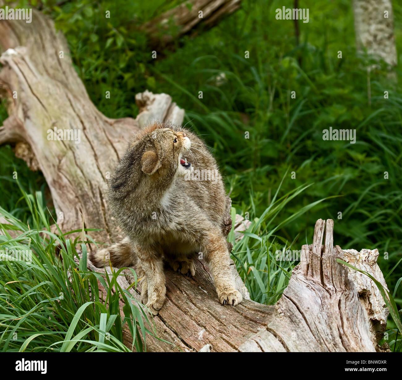 Scottish Wildcat snarling - Stock Image