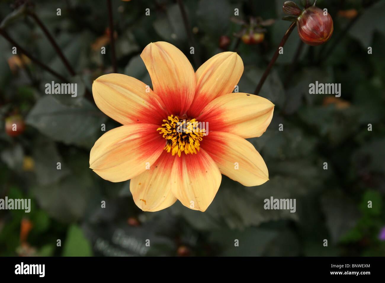 Dahlia Moonshine - Stock Image