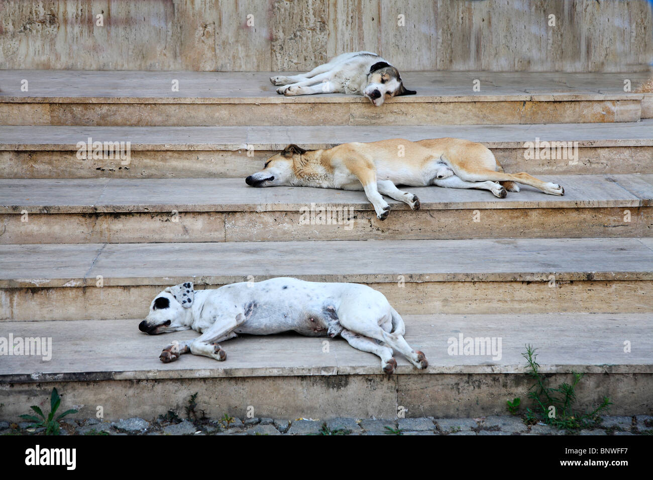 dogs sleeping on the building steps sheltering from hot sun - Stock Image