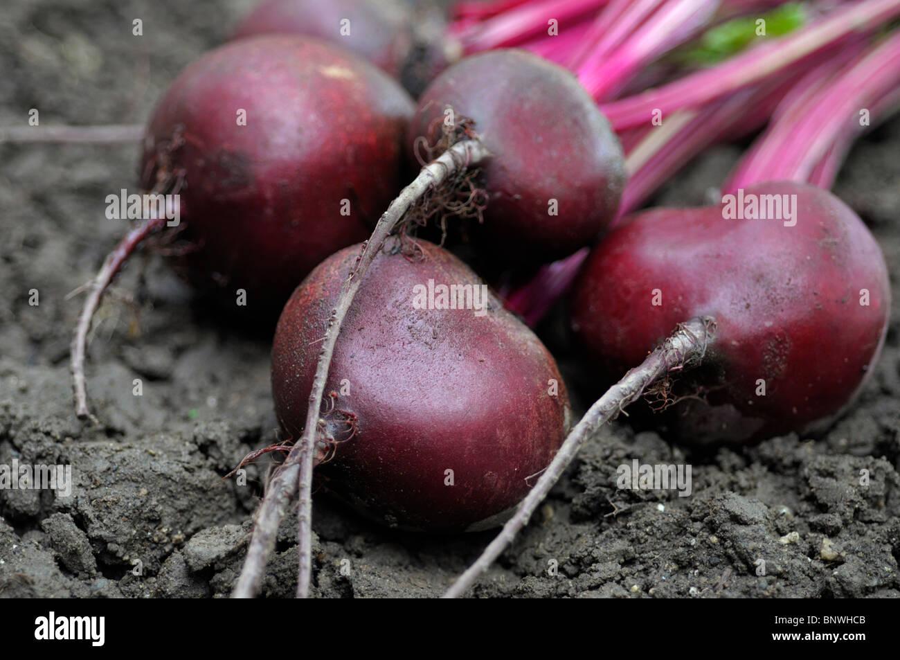Beetroot, Fresh Raw Beets Garden Stock Photo