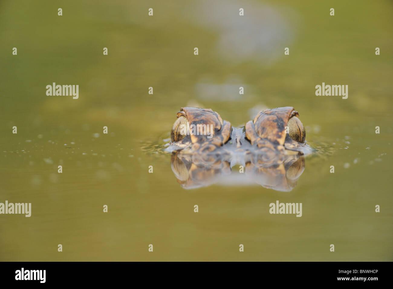 American Alligator (Alligator mississipiensis), adult wimming, Fennessey Ranch, Refugio, Coastal Bend, Texas Coast, - Stock Image