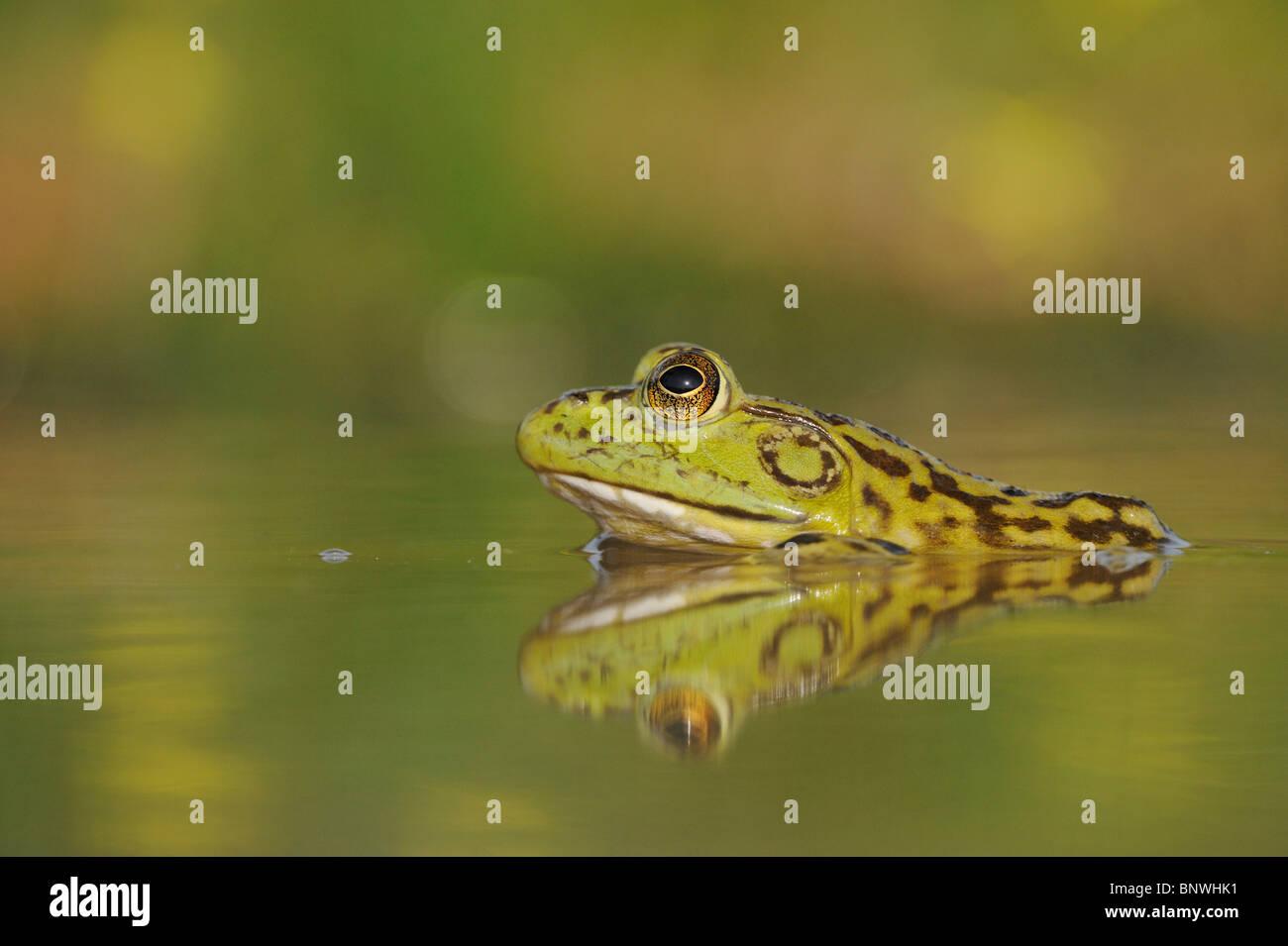 Bullfrog (Rana catesbeiana), adult in lake, Fennessey Ranch, Refugio, Coastal Bend, Texas Coast, USA Stock Photo