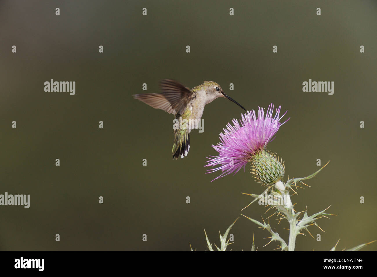 Black-chinned Hummingbird (Archilochus alexandri), female feeding on Texas thistle, Chisos Mountains, Big Bend National - Stock Image