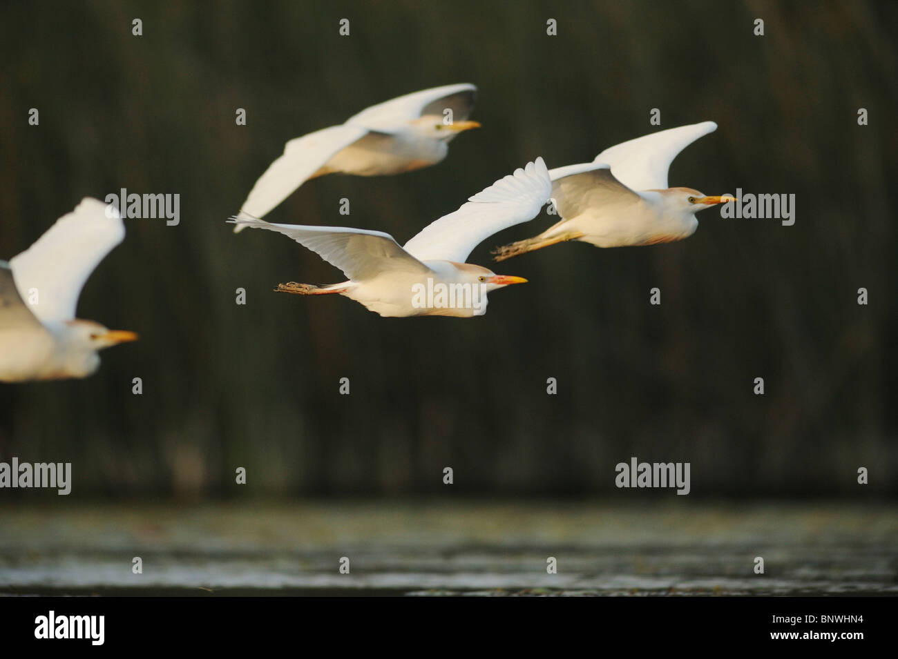 Cattle Egret (Bubulcus ibis), flock in flight, Fennessey Ranch, Refugio, Coastal Bend, Texas Coast, USA Stock Photo
