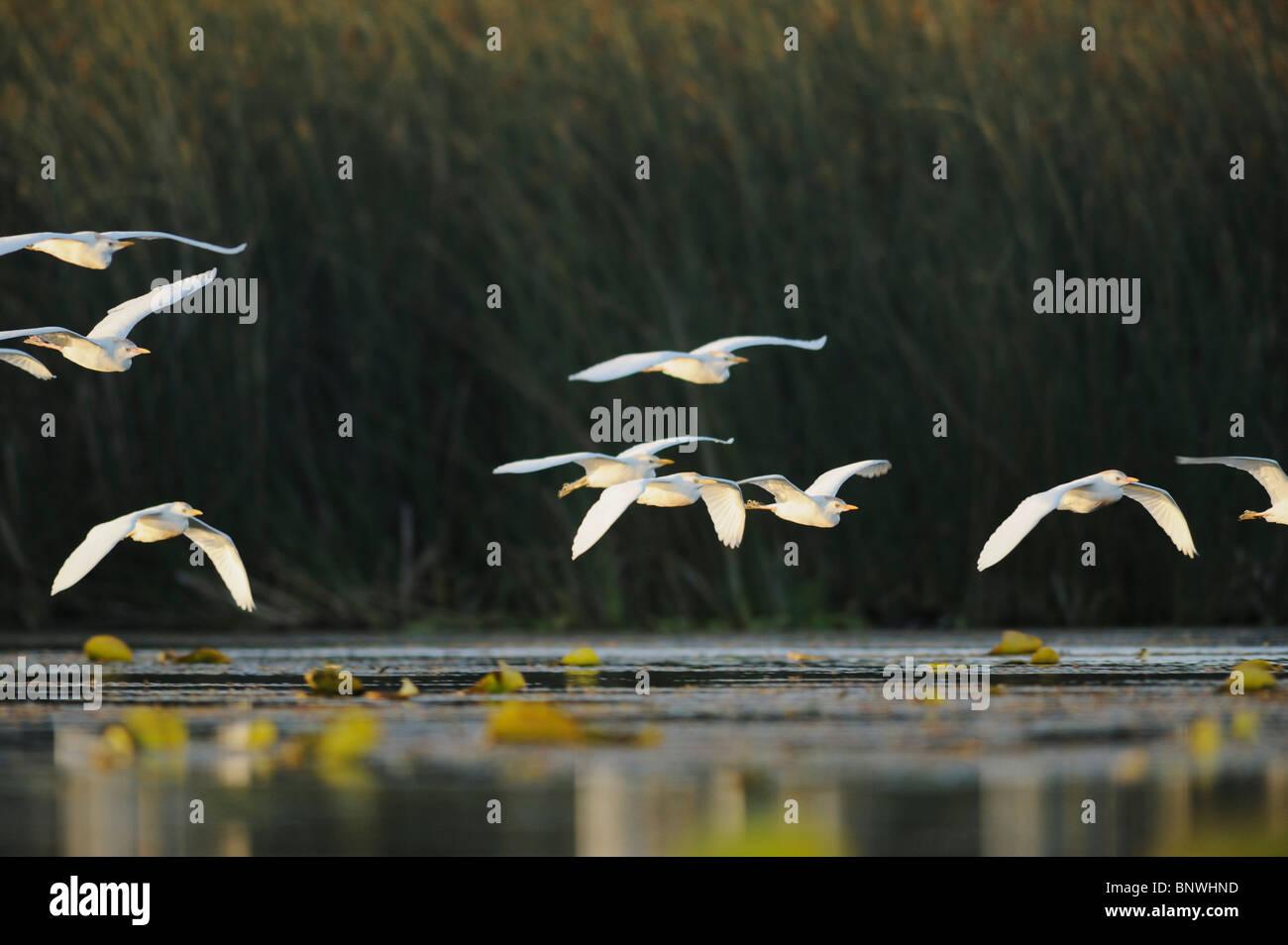 Cattle Egret (Bubulcus ibis), flock in flight, Fennessey Ranch, Refugio, Coastal Bend, Texas Coast, USA - Stock Image