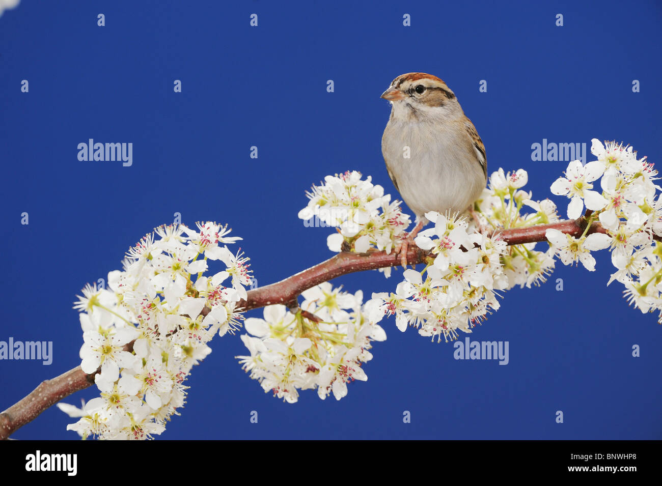 Chipping Sparrow (Spizella passerina), adult on blooming Mexican Plum, San Antonio, Hill Country, Central Texas, - Stock Image