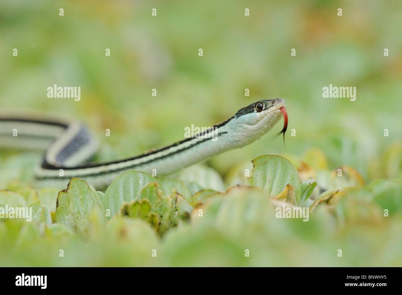 Gulf Coast Ribbon Snake (Thamnophis proximus orarius), adult on water lettuce, Corpus Christi, Coastal Bend, Texas - Stock Image