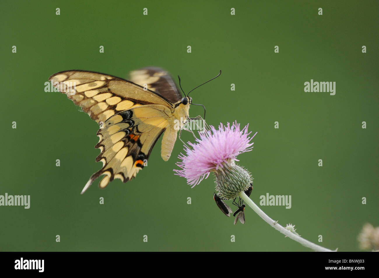 Giant Swallowtail (Papilio cresphontes), adult feeding on Texas thistle (Cirsium texanum), Refugio, Coastal Bend, - Stock Image
