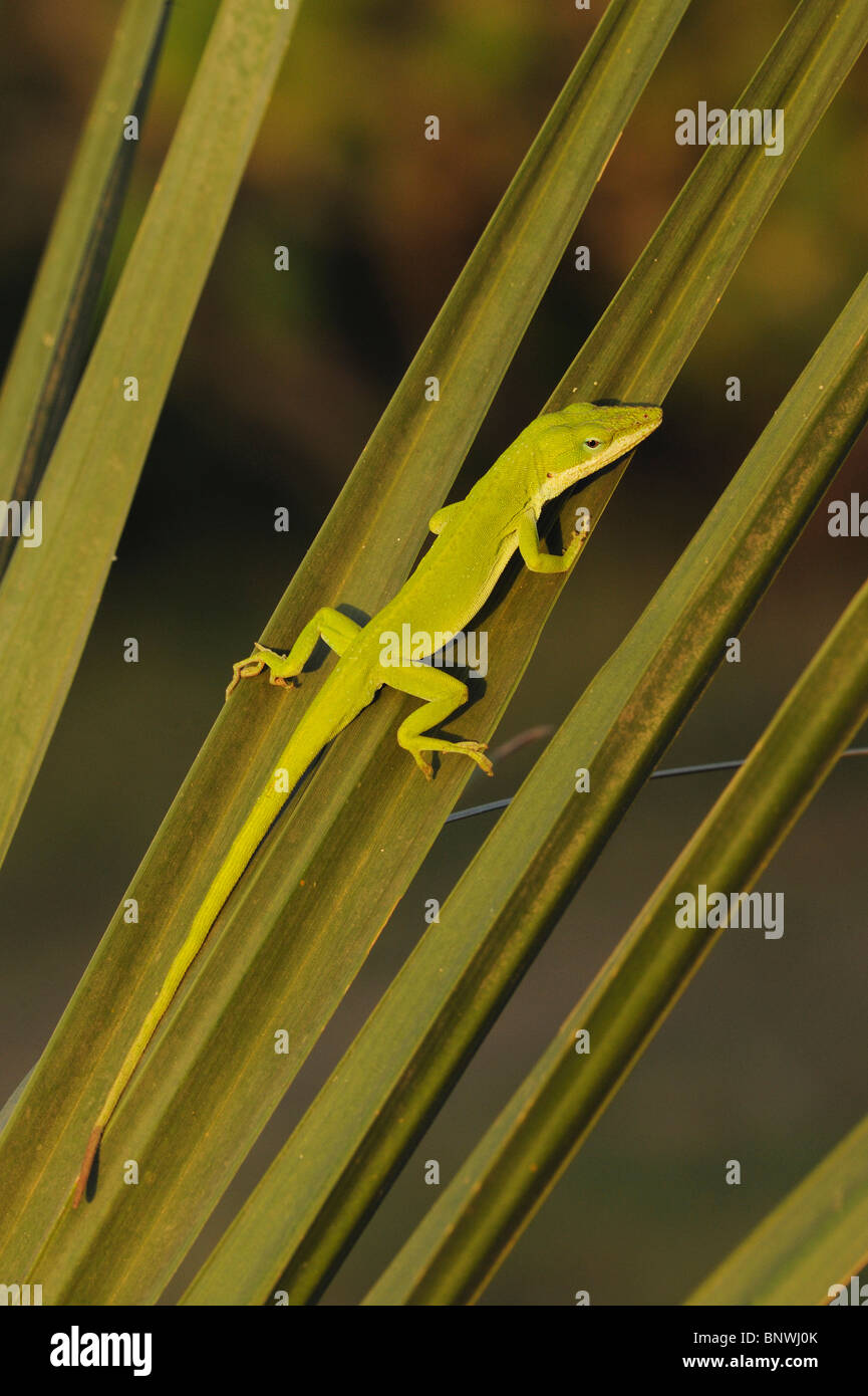 Green Anole (Anolis carolinensis), adult on palm frond, Fennessey Ranch, Refugio, Coastal Bend, Texas Coast, USA - Stock Image