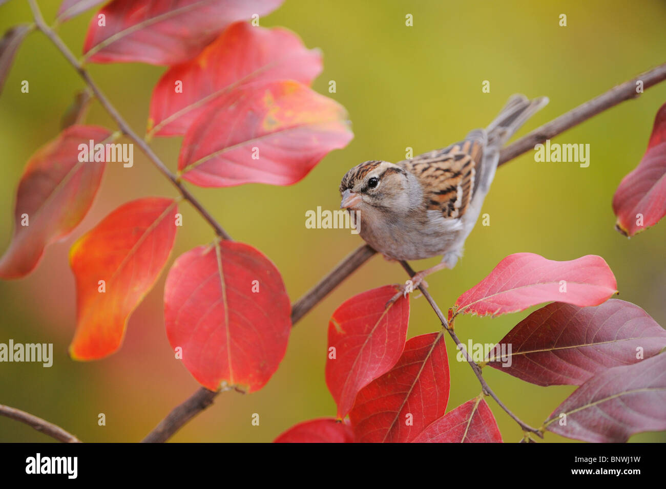 Chipping Sparrow (Spizella passerina), adult on Crape Myrtle (lagerstroemia), San Antonio, Hill Country, Central - Stock Image