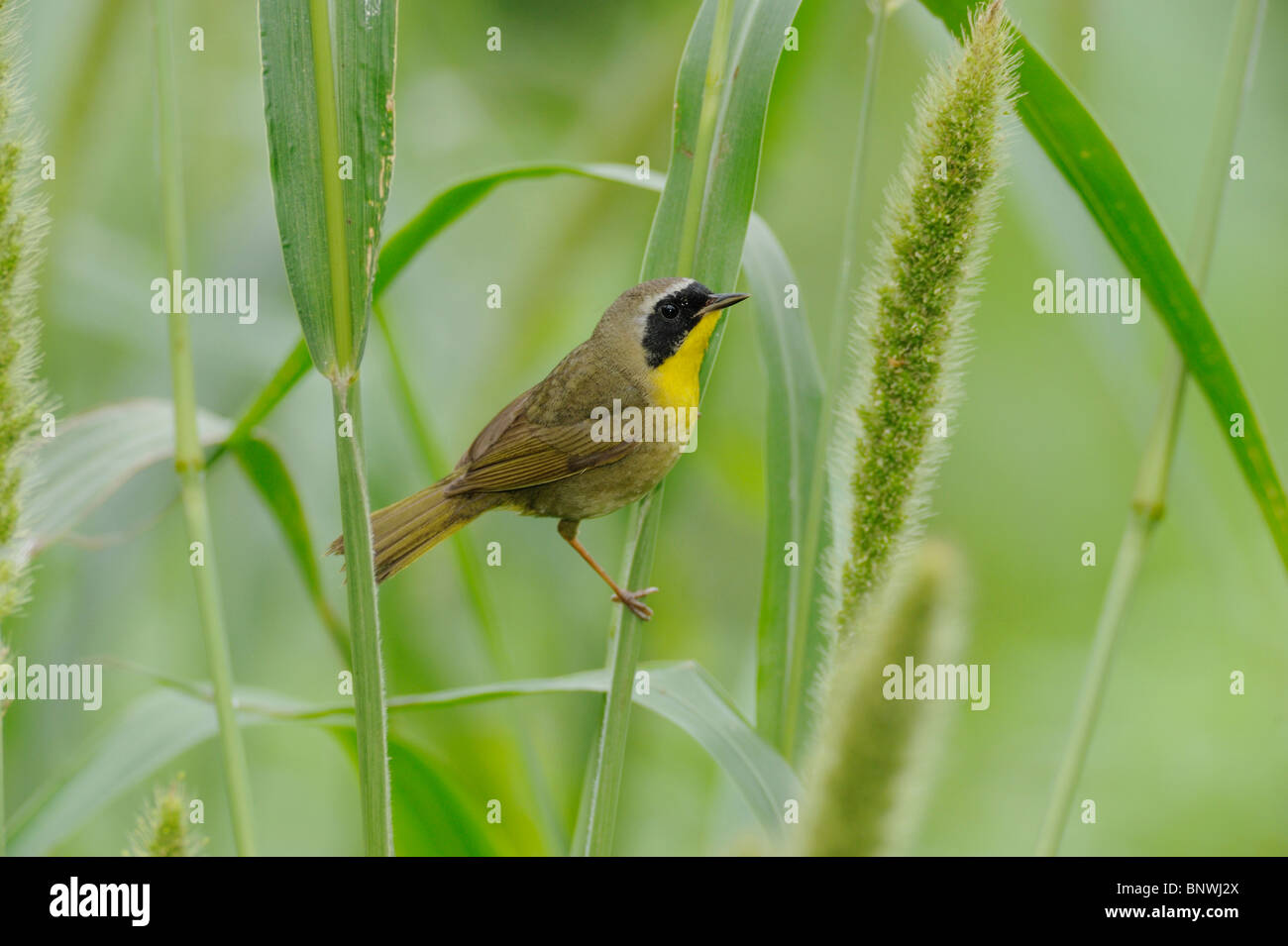 Common Yellowthroat (Geothlypis trichas) adult perched on Manchurian wild rice,  Mustang Island, Coastal Bend, Texas - Stock Image
