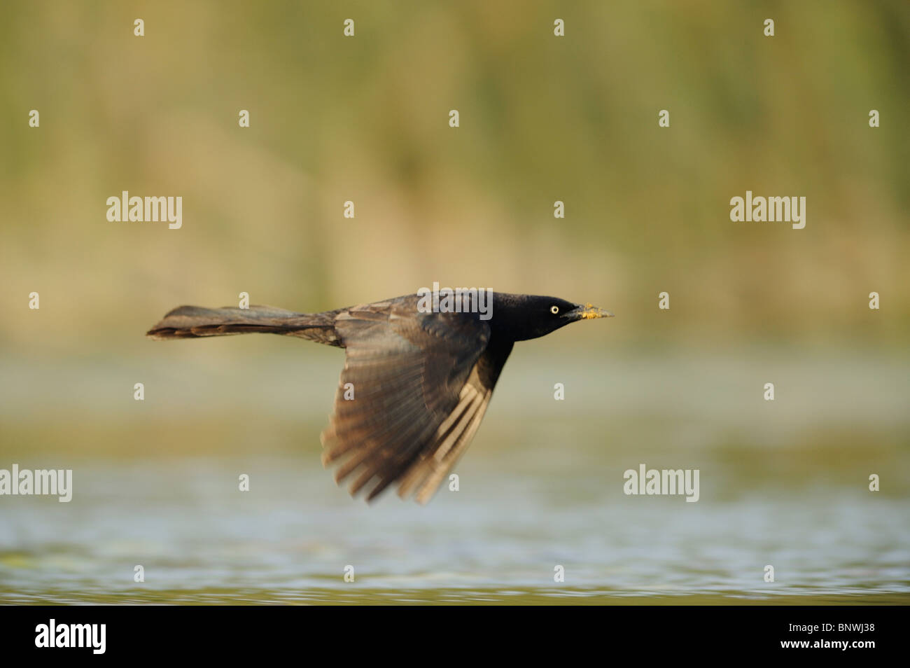 Great-tailed Grackle (Quiscalus mexicanus), male in flight, Fennessey Ranch, Refugio, Corpus Christi, Coastal Bend, - Stock Image