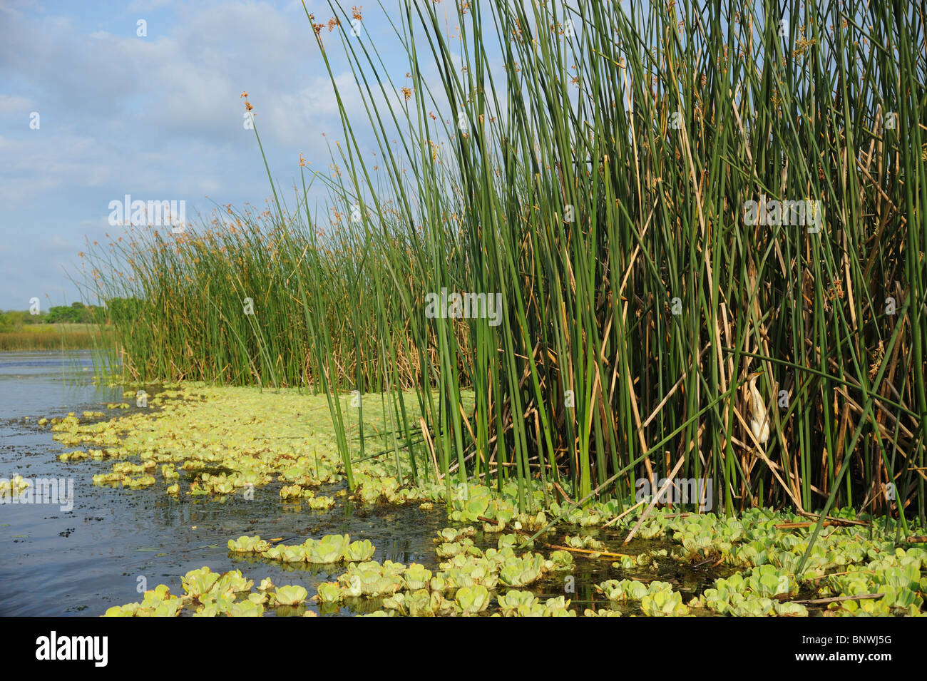 Least Bittern (Ixobrychus exilis), adult in reeds in lake habitat, Fennessey Ranch, Refugio, Coastal Bend, Texas - Stock Image
