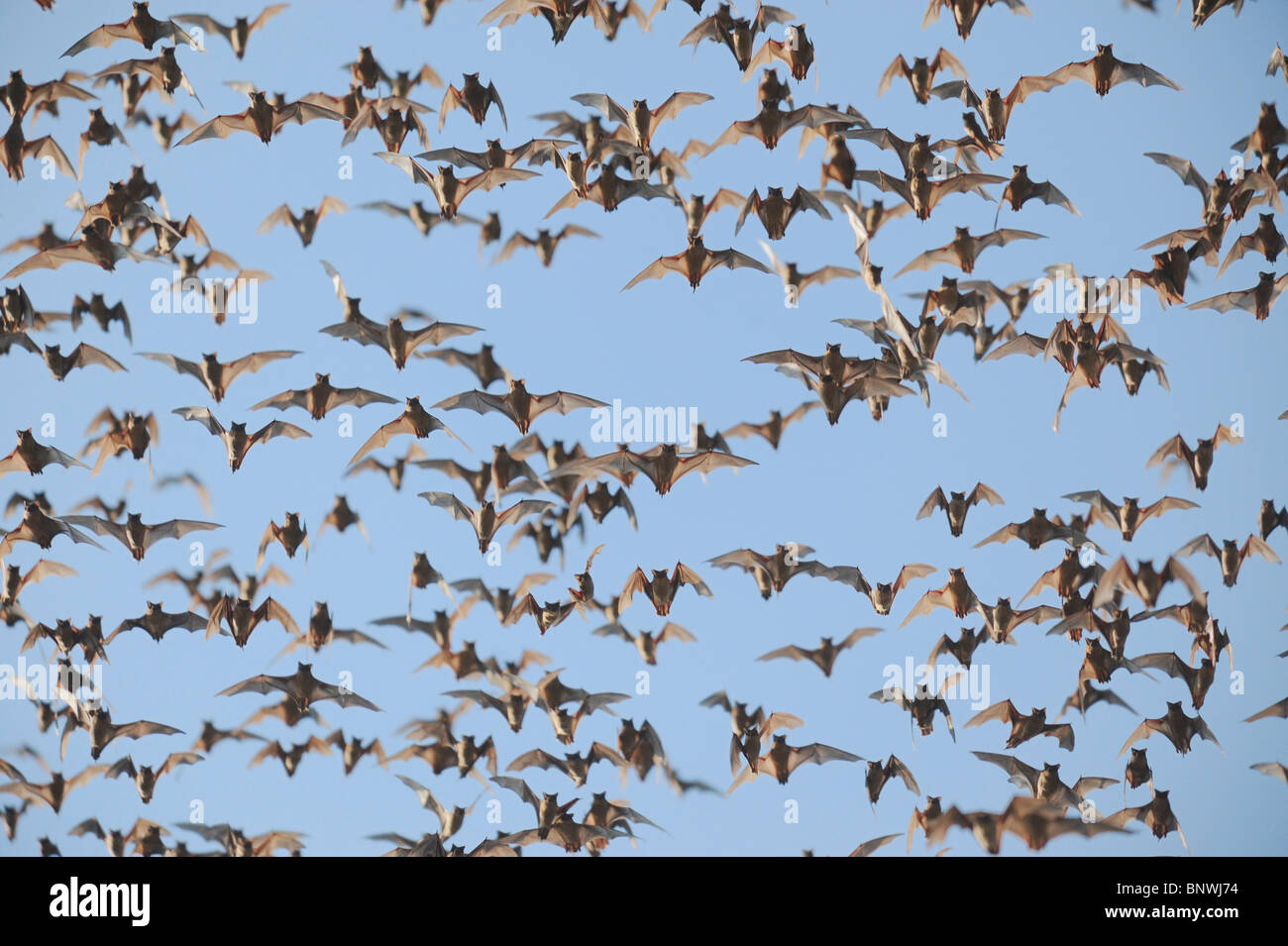 Mexican Free-tailed Bat (Tadarida brasiliensis), swarm in flight, Bracken Cave, San Antonio, Hill Country, Central - Stock Image