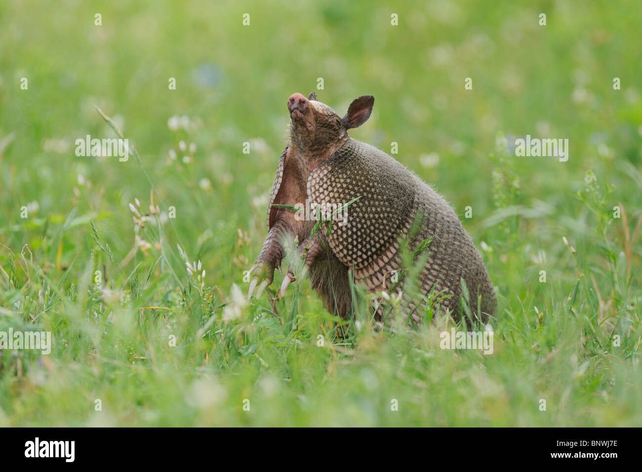 Nine-banded Armadillo (Dasypus novemcinctus), adult standing up smelling, Fennessey Ranch, Refugio, Coastal Bend, - Stock Image