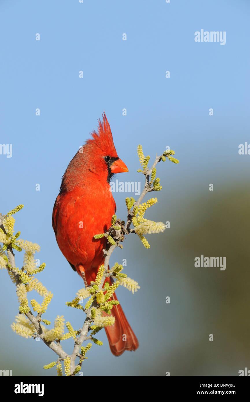 Northern Cardinal Cardinalis Cardinalis Adult Male On Blooming
