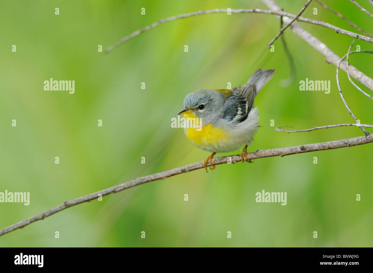 Northern Parula (Parula americana),male, Port Aransas, Mustang Island, Coastal Bend, Texas Coast, USA - Stock Image
