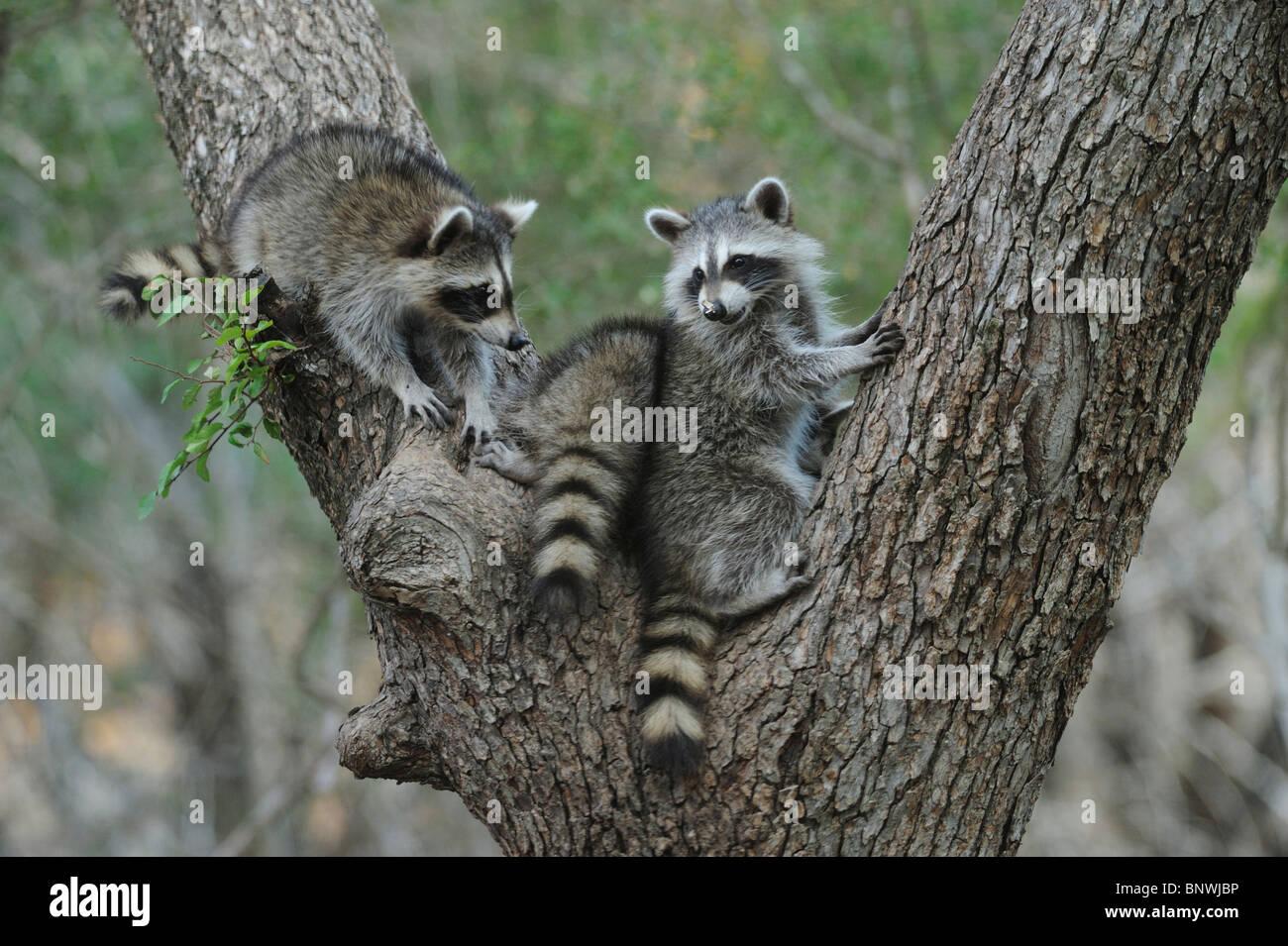 Northern Raccoon (Procyon lotor), young climbing Cedar Elm (Ulmus crassifolia), New Braunfels, San Antonio, Hill - Stock Image