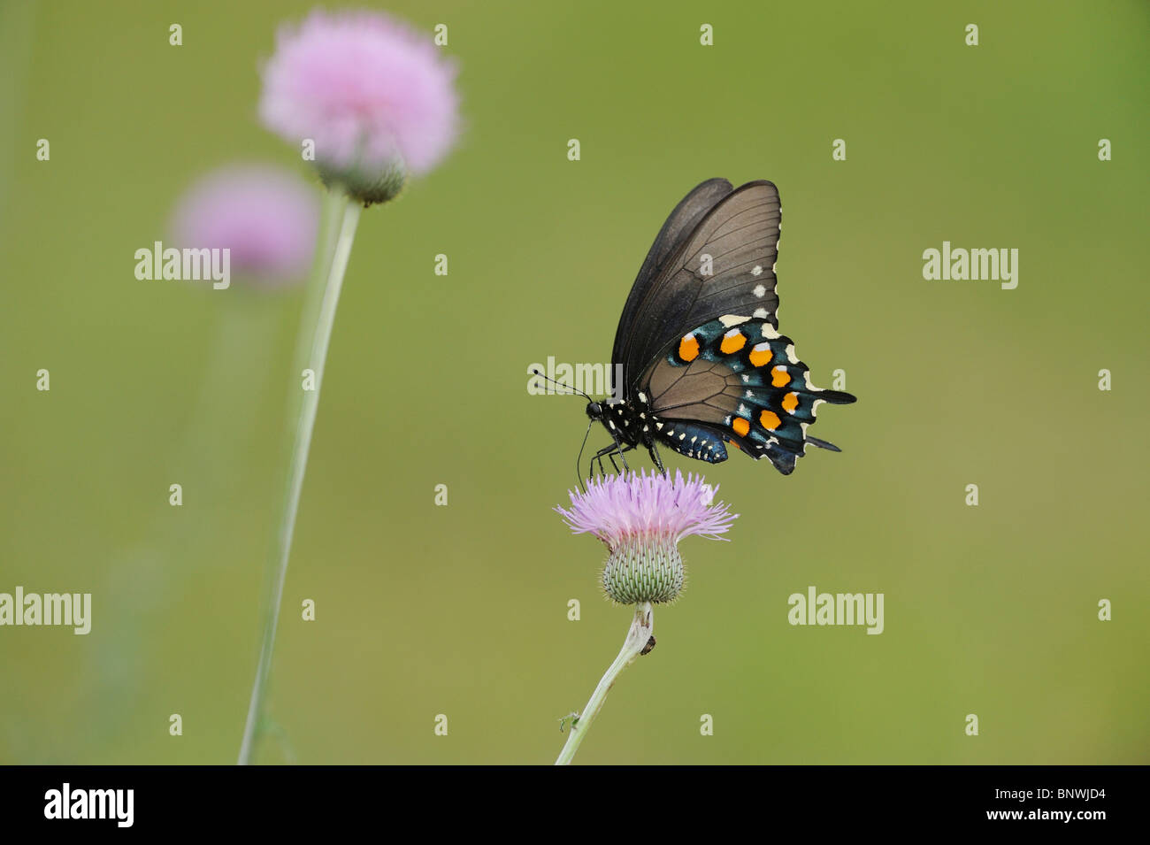 Pipevine Swallowtail (Battus philenor),adult feeding on Texas thistle (Cirsium texanum), Coastal Bend, Texas Coast, - Stock Image