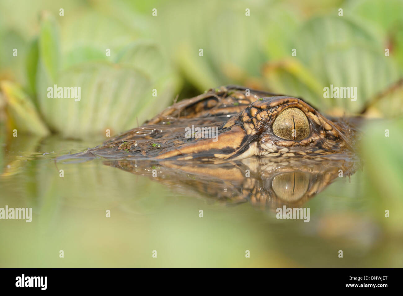 American Alligator (Alligator mississipiensis), adult in water lettuce (Pistia stratiotes), Fennessey Ranch, Refugio, - Stock Image