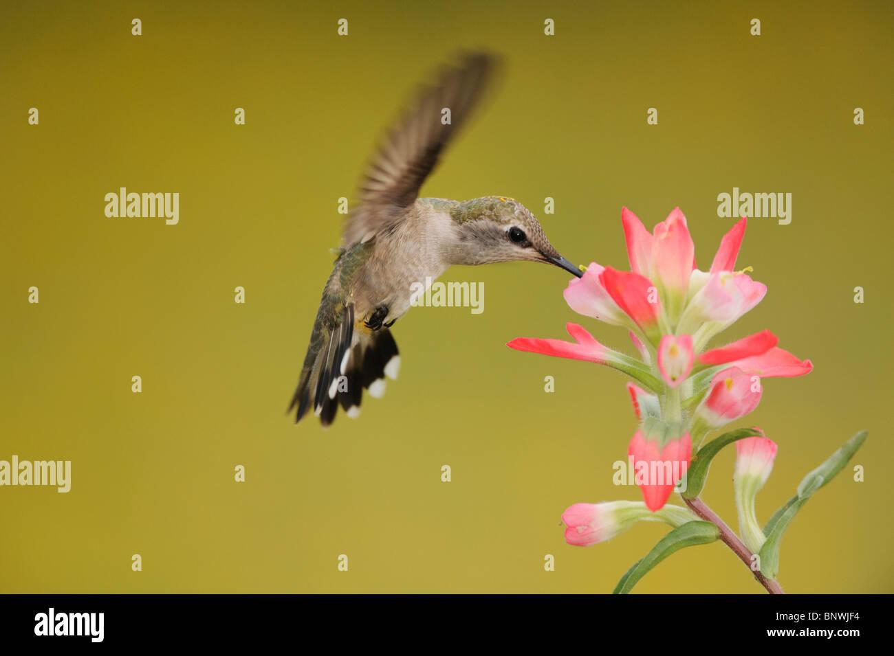 Ruby-throated Hummingbird (Archilochus colubris), female feeding on Texas Paintbrush, Coastal Bend, Texas Coast, - Stock Image