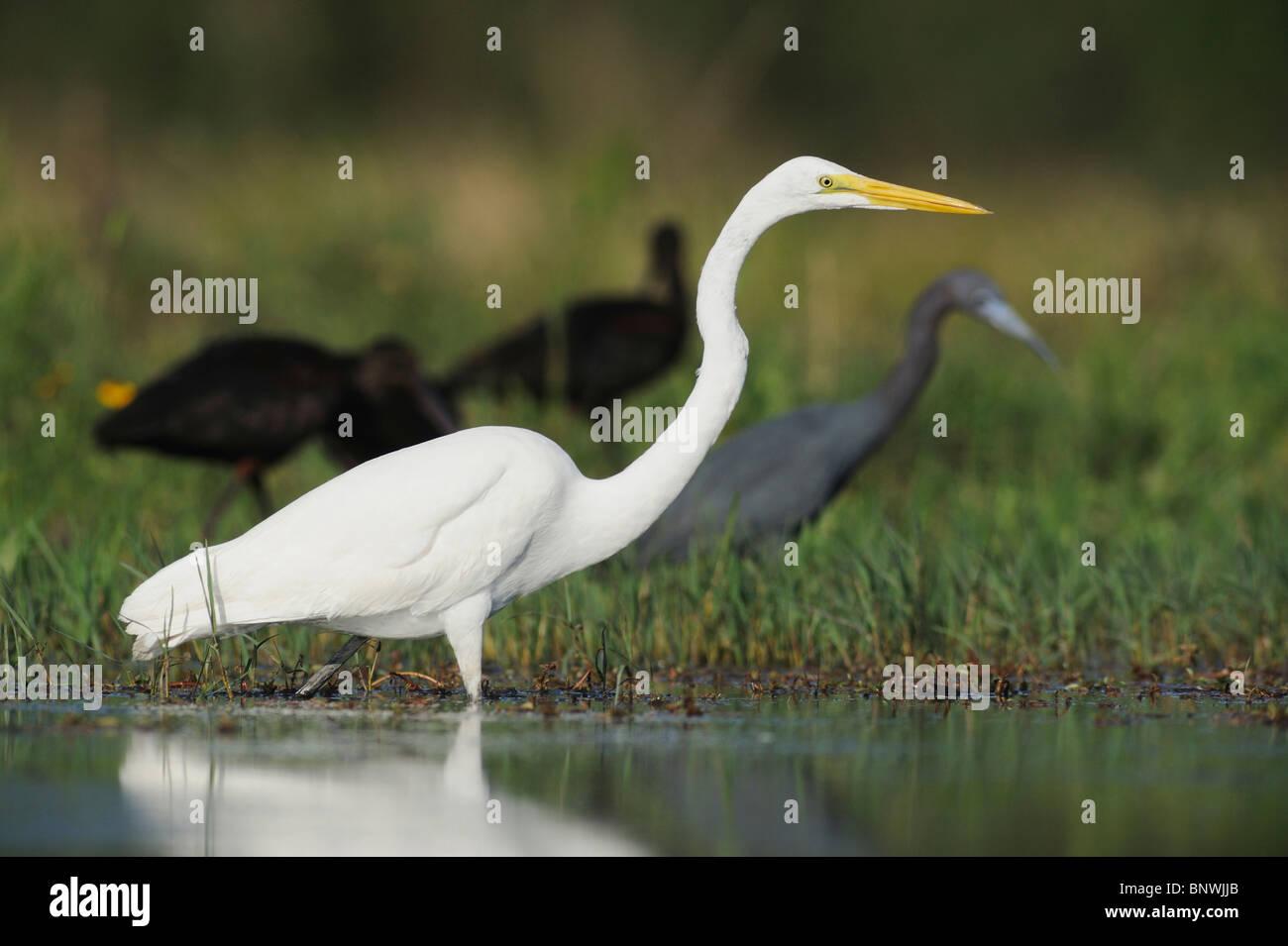 Great Egret ( Ardea alba),adult among other waders, Fennessey Ranch, Refugio, Coastal Bend,Texas Coast, USA - Stock Image