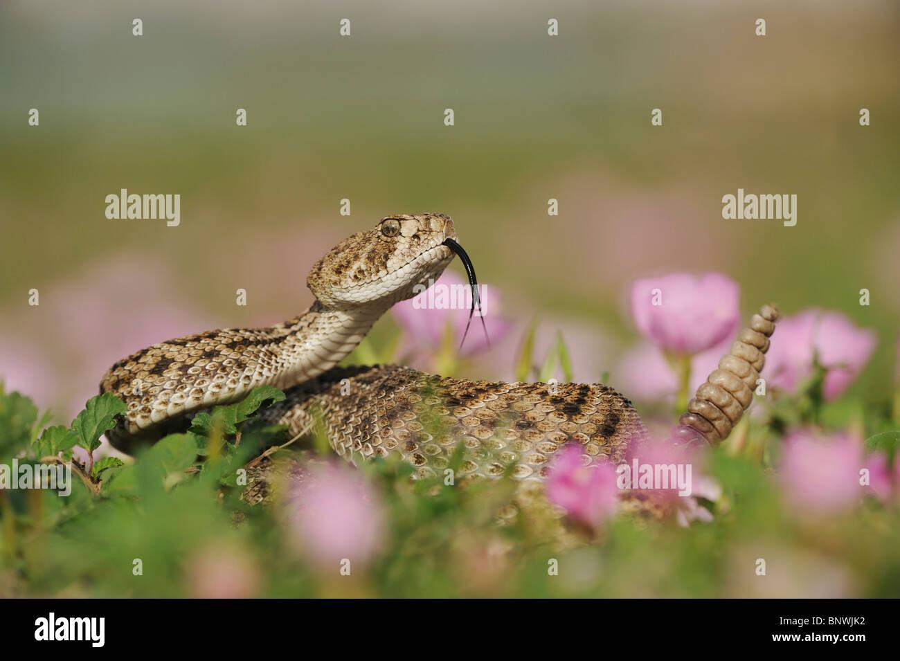 Western Diamondback Rattlesnake (Crotalus atrox), adult in striking pose in field of Showy Primrose, Coastal Bend, - Stock Image