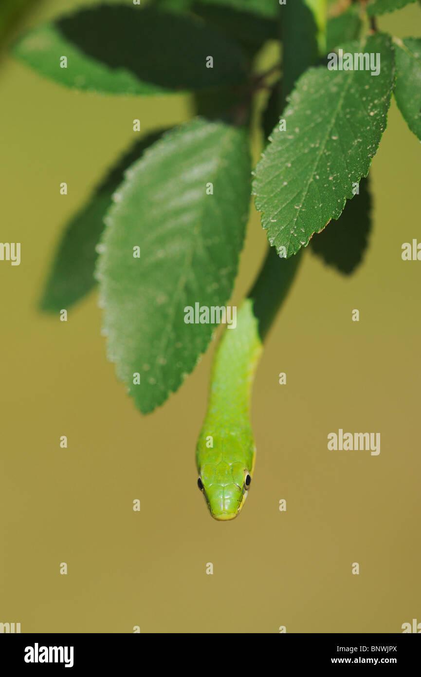 Rough Green Snake (Opheodrys aestivus), adult climbing in tree, Refugio, Coastel Bend, Texas, USA Stock Photo