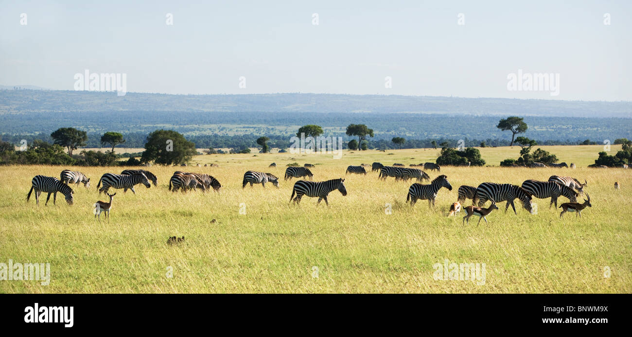 Zebra and Wildebeest grazing on the Masai Mara Kenya - Stock Image
