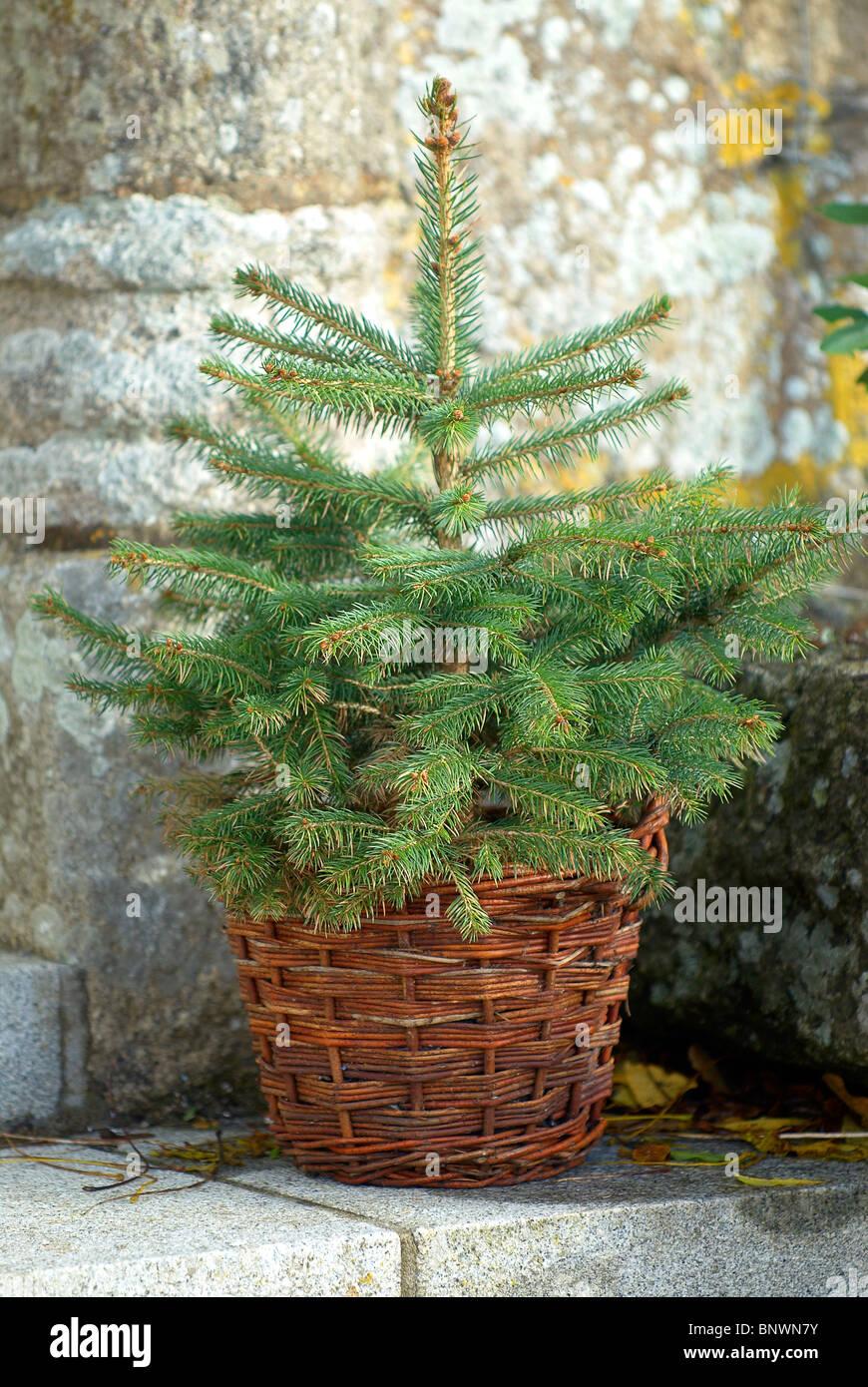 Fir Tree in wicker basket - Stock Image