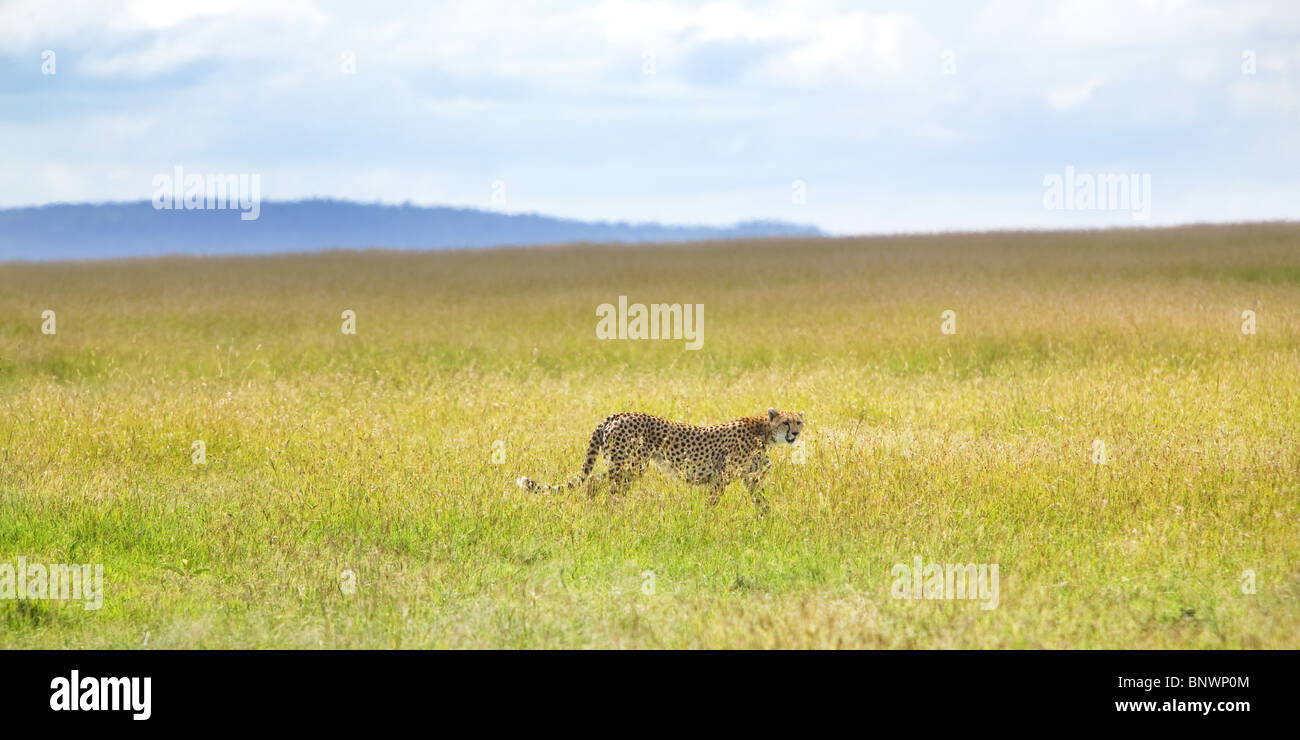 Cheetah on Masai Mara plain Kenya - Stock Image