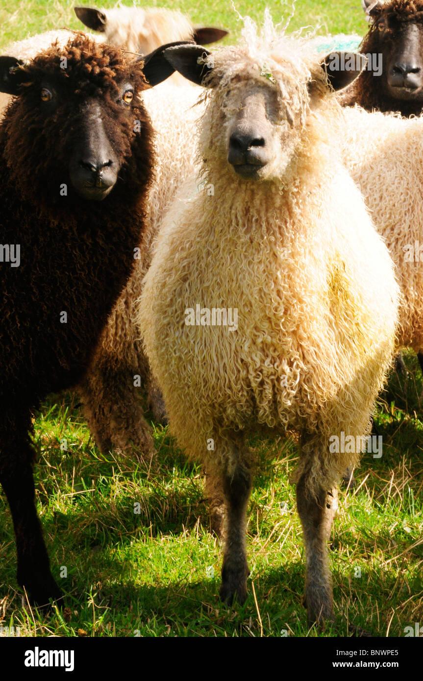 Wensleydale sheep Stock Photo