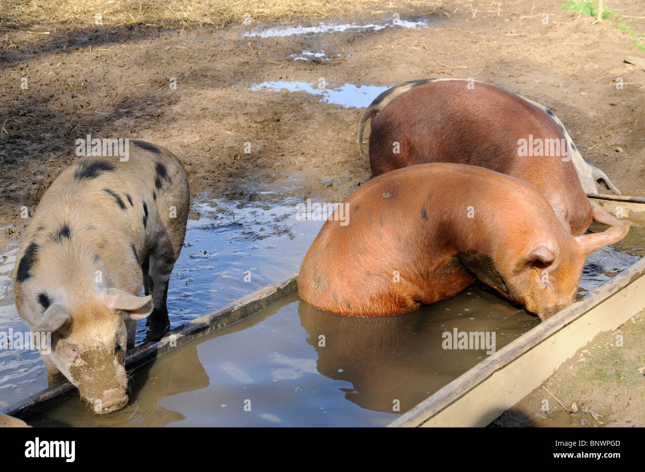 England, Lincolnshire, Cross bred pigs drinking water from water trough on farm - Stock Image