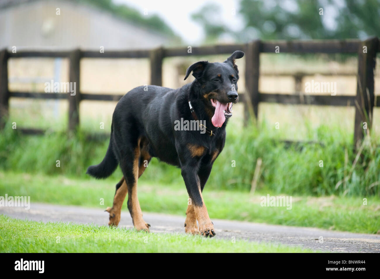 Labrador cross breed dog - Stock Image