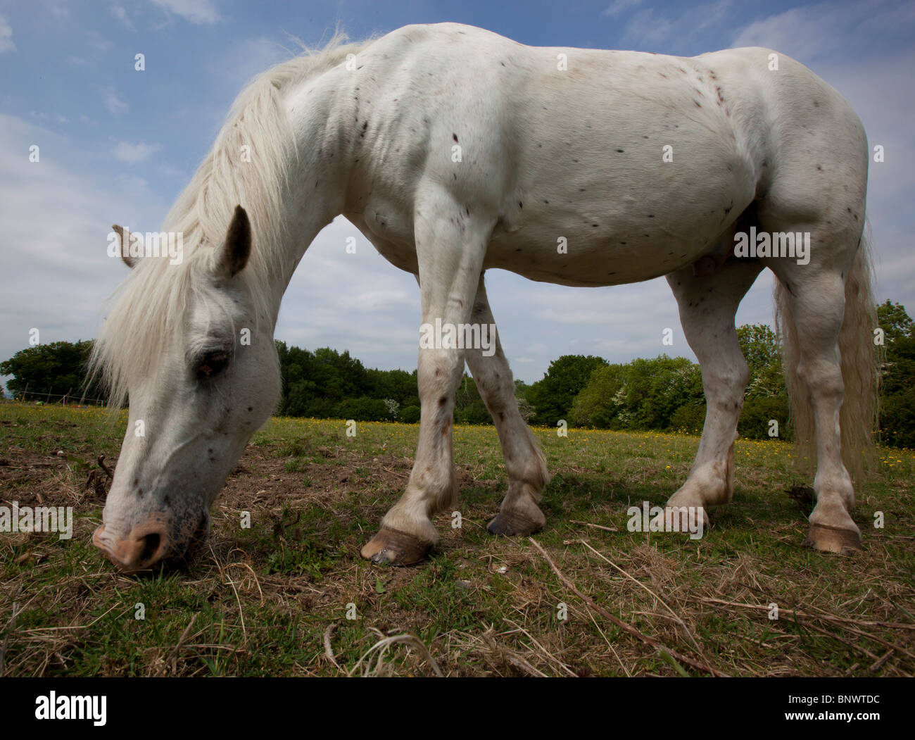 A pony or small horse grazing in a field with a background of trees and a predominantly blue sky, seen from an unusual - Stock Image