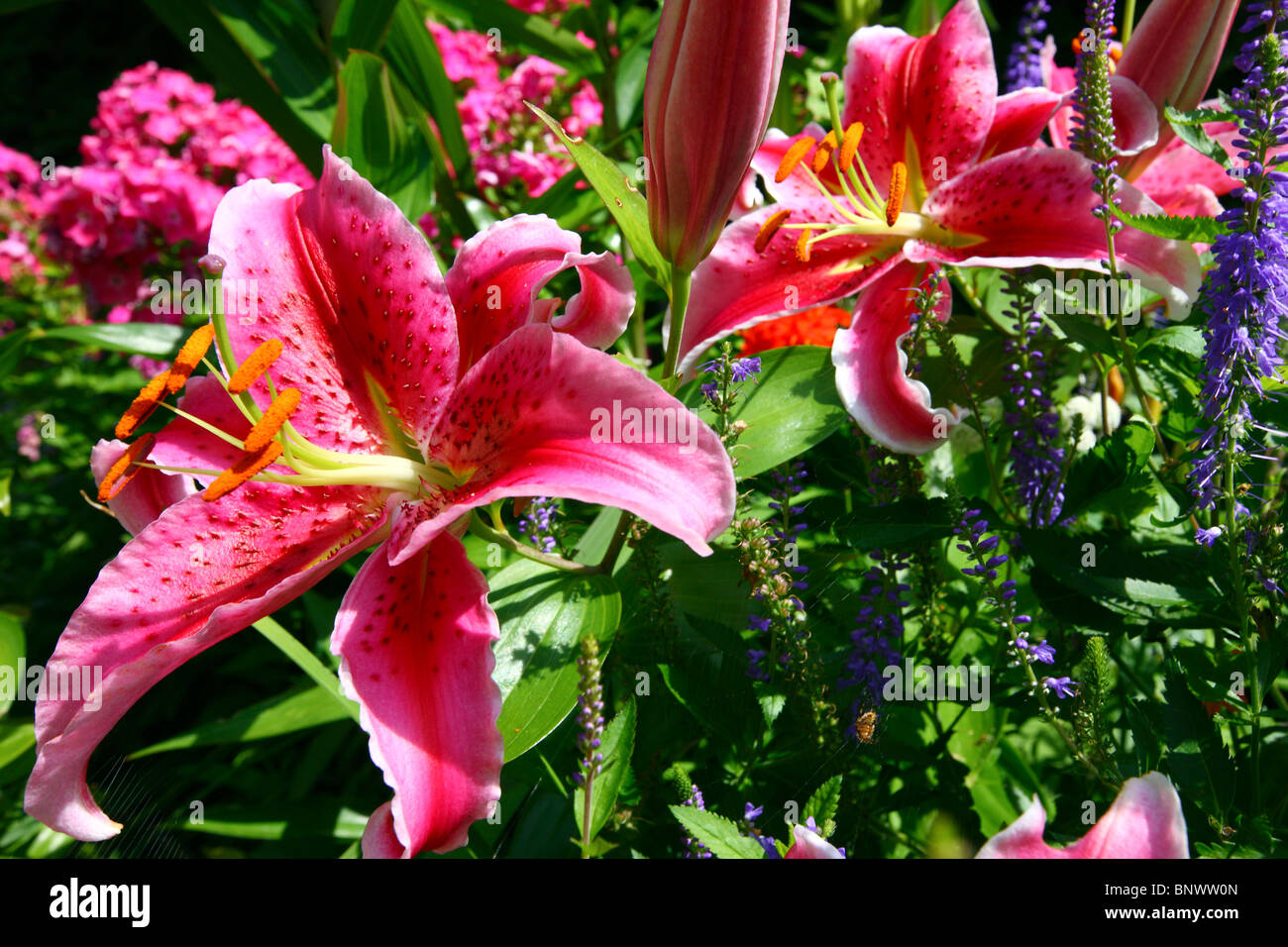 Typical garden, with lots of flowers, some tropical, Guernsey, Channel Islands, UK, Europe - Stock Image