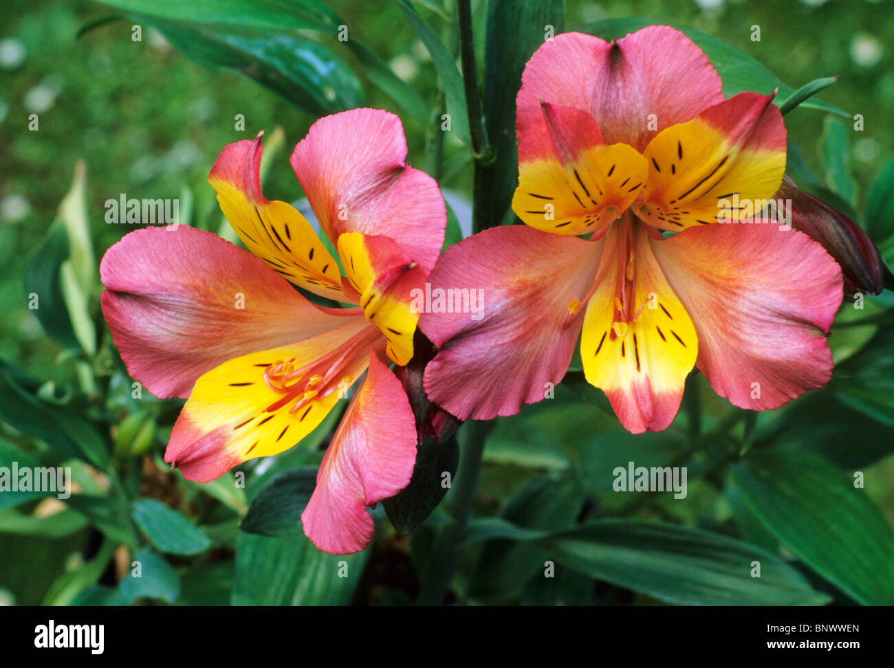 Alstroemeria Alexis Pink And Yellow Flower Flowers Garden Plant