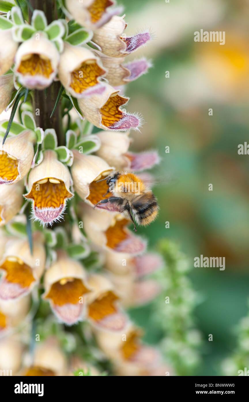 Common Carder bumble bee feeding on Digitalis ferruginea. Rusty foxglove - Stock Image