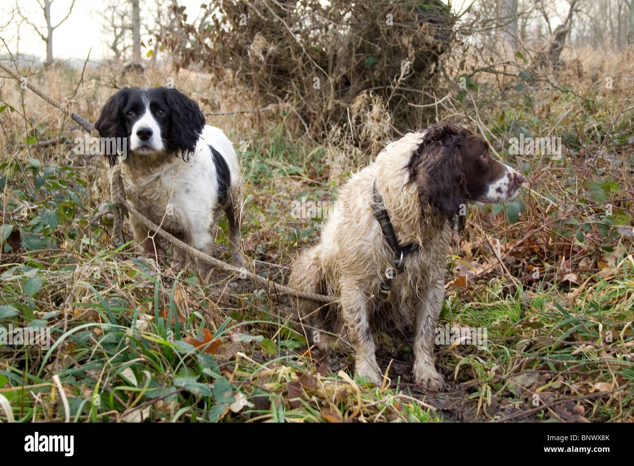 Two gun dogs waiting in the woods. - Stock Image