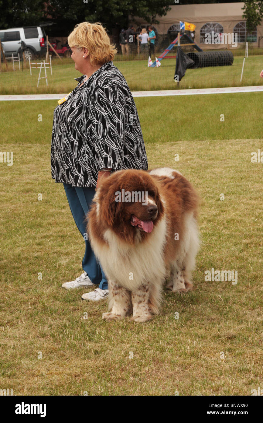 Newfoundland Dog and handler - Stock Image